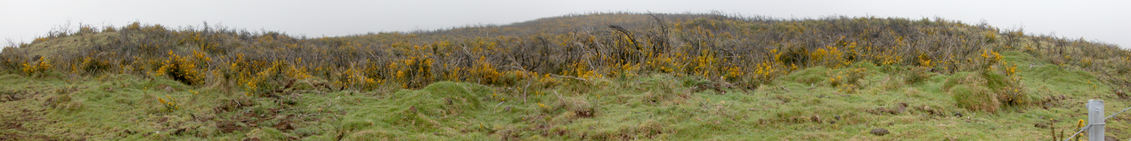 A paddock invaded by gorse in Hawai'i (D.Kriticos, CSIRO)